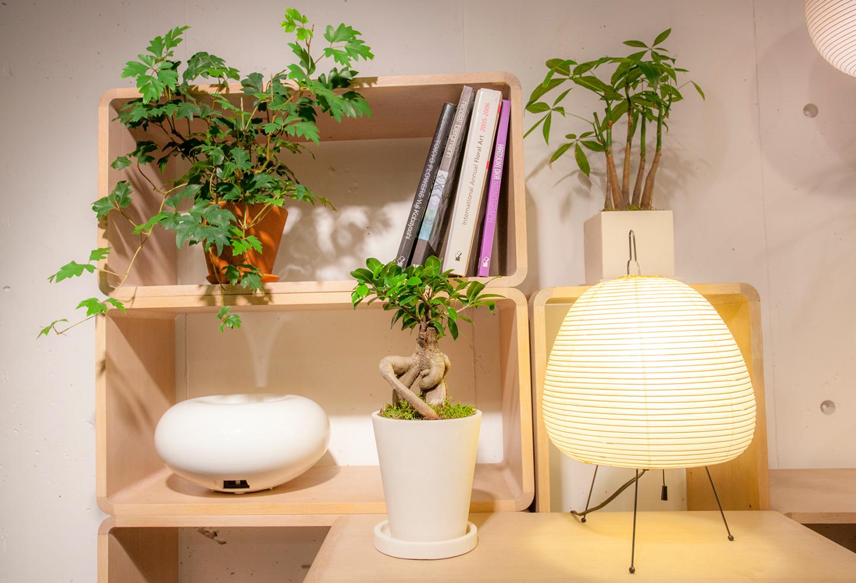"""つる系、樹木系、群生系とタイプの異なる植物をリズムよく配置したコーディネート例。エレンダニカはあえて前面に置くことで三次元的に空間を使用。鉢から茎がつる状に伸びるタイプの植物は日光にも当てやすいので棚の中に置いても育てやすい。左/""""エレンダニカ""""¥3,348、中央/""""ガジュマル""""¥6,912、右/""""パキラ""""¥4,212"""