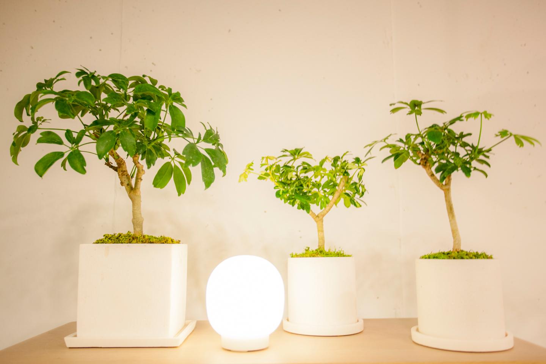 """""""シェフレラ・レナータ""""を3種類。中央は斑入りの品種。ワンポイントを入れることで同種の植物を並べてもリズムが生まれ絵になる。価格は左/¥7,344、中央/¥3,564、右/¥3,564"""