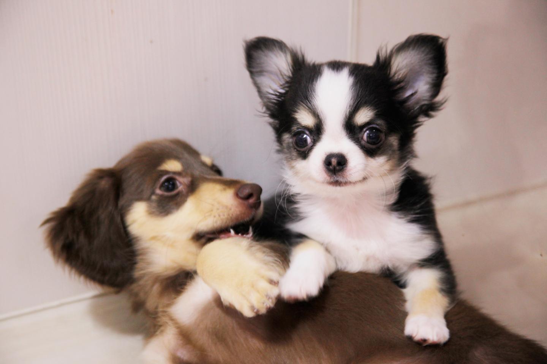 生後間もなくからの社会化期に他の犬と触れあうことで社会性が身に付き、しつけがしやすくなります
