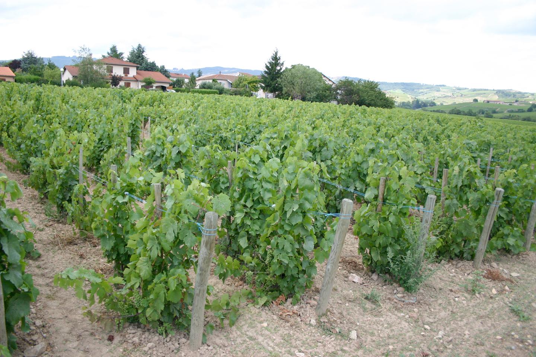 ボジョレーのブドウ畑。小規模な農園が多い日本に比べて、ヨーロッパのブドウ畑はとにかく広い!