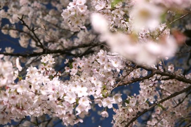 1本の大きな桜の木。低い位置にある花をレンズの端に入れつつ、遠くの高所にある花にピントを合わせます。距離が離れているほど強くボケるので、より奥行きが出せるように