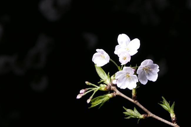 枝の先に咲いた桜を、余白を多くとって撮影したもの。ちなみに夜桜を撮るなど、背景が暗いほど、桜の花びらの白さや形の美しさが際立ちます