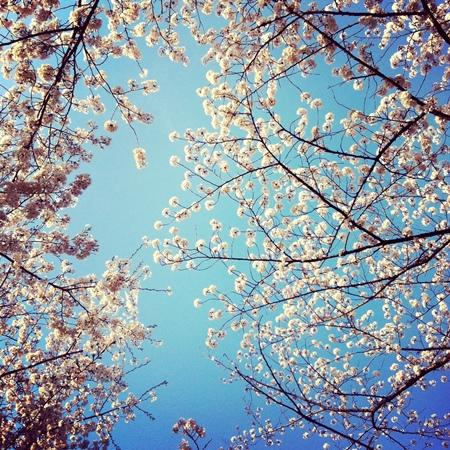見上げると、空を背景に桜が美しく咲いている姿を確認できるでしょう。背景となる空を少し多めに入れて、遠くの枝の先をまとめて撮れば、空に桜がよく映えます