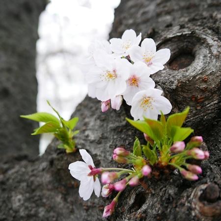 幹から咲いている小さな花を狙う手もあり。低い位置にあるので寄って撮りやすく、花びらまでしっかり見せられます