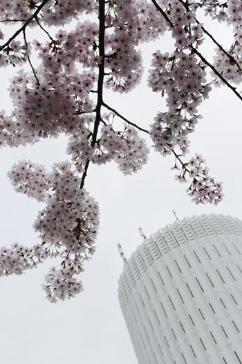 桜を下から見上げた先に、タワービル。自然の桜と人工的な建物とのコントラストが、桜の美しさを際立たせます