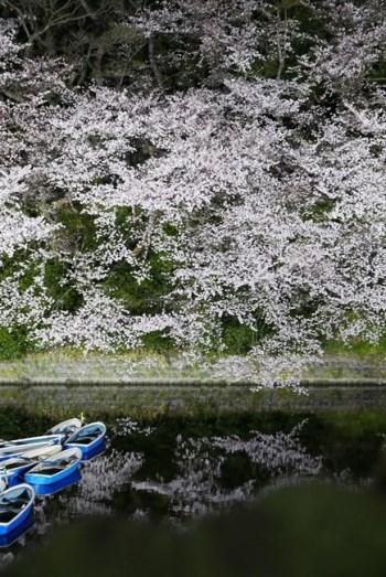 堀に向かって垂れ下がるように咲く桜。水面に映った桜もまた、とても美しく、この水鏡を使わない手はありません。水面に映る部分を構図の中でもっと多くする、あるいはいっそ水鏡だけ撮ってみても