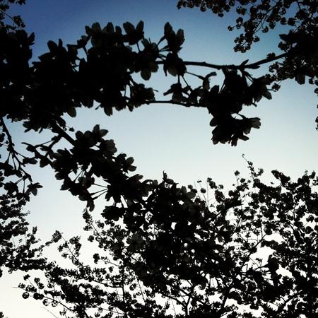 逆光(太陽が被写体=桜を挟んでカメラの対向にある)は、特に自撮りのときなど撮影にはあまり好まれませんが、あえて活用してみると、桜が上の写真のようにシルエットになったり、ぼんやりと白くやわらかく写ったり、目で見る桜とは違う姿を写し取れます。