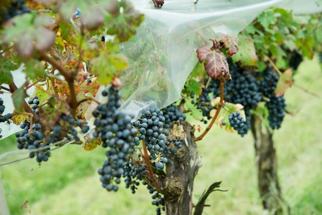 今年から導入した雨よけの傘。毎年の気候に合わせて栽培方法を変える工夫も。写真はカベルネ・ソーヴィニヨン