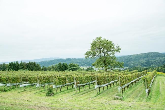 カベルネ・ソーヴィニヨンの畑
