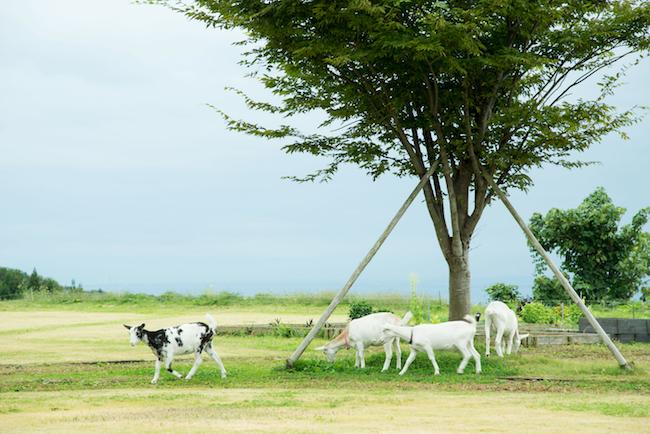 ワイナリーでは、草を食むヤギや、レストランに卵を提供してくれるニワトリなどの動物も飼育している