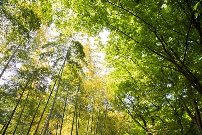 ↑嵯峨野名物の竹林と、青もみじの競演が見事