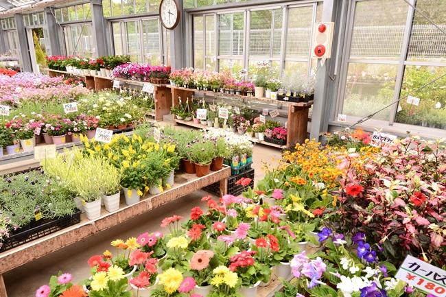 ホームセンターなどに行けば、季節を彩る美しい草花に出会えます。(撮影協力/農産物直売所 なのはな)