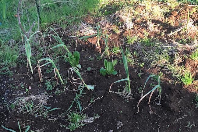 メンテナンスを怠り、雑草が生えてしまった家庭菜園。見た目も美しくなくなるので雑草は引き抜くようにしましょう