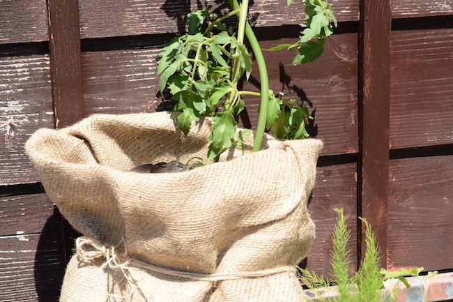 胴の部分を麻紐などで結んでもよい。上部に野菜苗を植え付けます。植え付け後はたっぷり水を与えます。培養土をそのまま使うので、肥料の必要もありません