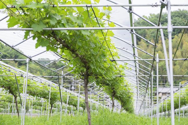 """ブドウが罹る病気の最大の原因が雨。その雨に備えて、オリジナルの""""傘""""が畑全体に張り巡らされている。設置はすべて福島さんの手作業によるものだ"""