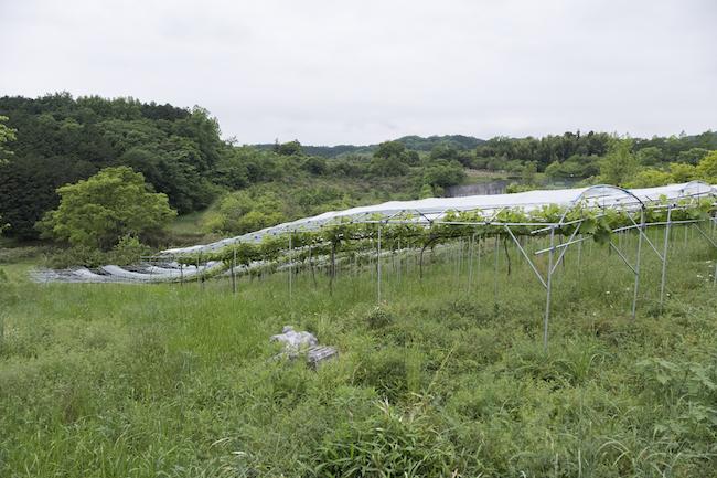 ワイナリー建築予定地の隣の丘陵地には、「ヤマ・ソーヴィニヨン」を栽培する畑が広がる