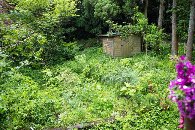 森の中にあるログハウスなので、庭の景色もワイルド。赴き深い小屋が立っているその周りに、レタスや香菜、ミョウガ、ビワやブルーベリーなどが、ざっくばらんに植えられています