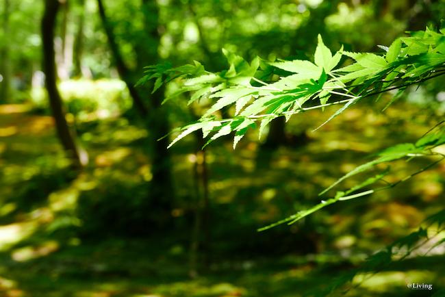 青もみじと苔の競演が美しい。