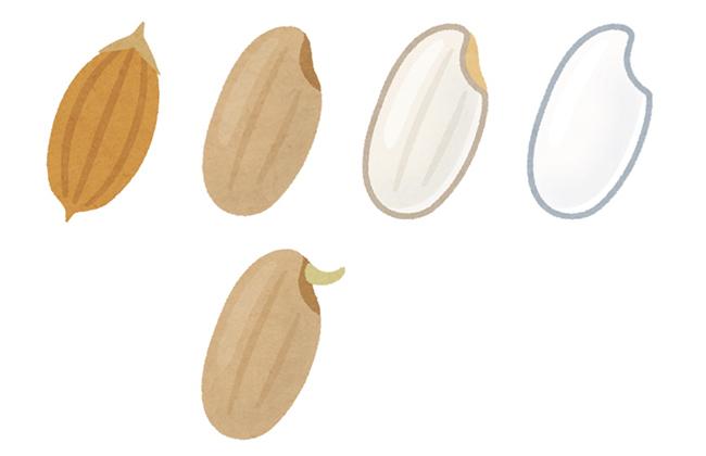 左から「籾殻」「玄米」「胚芽米」「精白米」。発芽させた玄米を「発芽玄米」、胚芽米は、糠のうち胚芽を残した状態の米です。