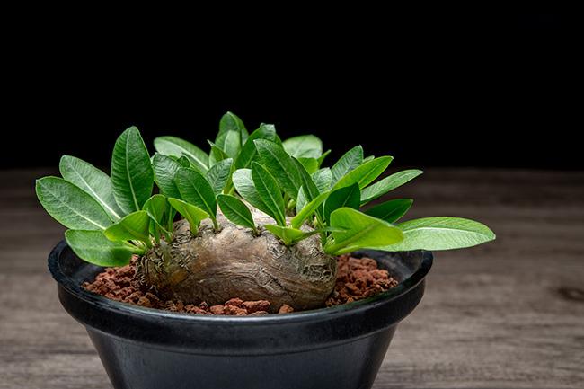 ↑パキポディウムに代表される塊根植物。