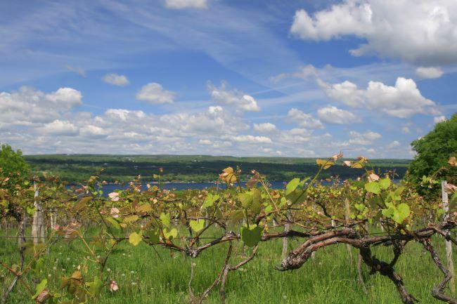 ワイン畑の向こうに、フィンガーレイクスのひとつ、カユーガ湖を望む。