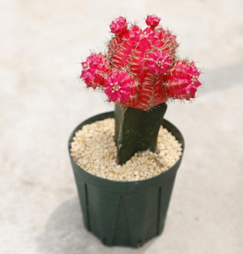 赤い色が美しい「緋牡丹」は接ぎ木された形もユニーク