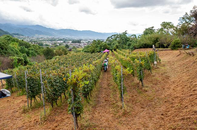 ワイナリー から車で5-6分の場所にある、カベルネ・ソーヴィニヨンとメルローが植わる神田圃場(じんでんほじょう)。この日収穫したカベルネ・ソーヴィニヨンは、上から概ね1/3のエリアを占める。