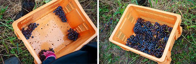 ブドウを傷つけずに隙間なく詰めるため、カゴへの入れ方ひとつにもルールが設けられている。