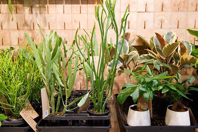 サボテンの仲間「ユーフォルビア」や吊り植物「コウモリラン」はここでしか買えない限定商品。