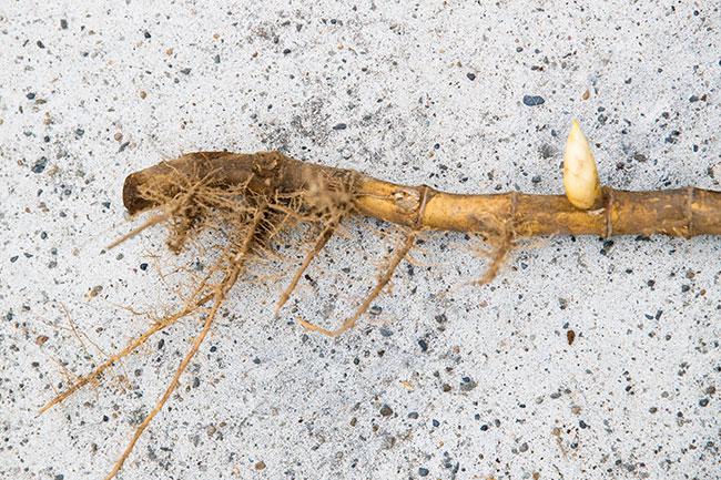 根の途中に生えている小さくかわいいたけのこ(写真右)。根のどこにたけのこができるのか、どういうタイミングで生えてくるかなど、たけのこの研究者はほかの作物に比べてほとんど存在しないため、まだまだわからないところが多いのだとか。