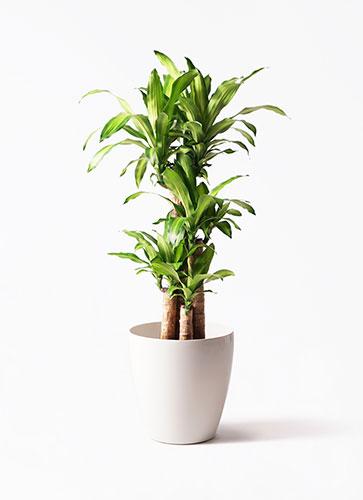 参考商品=「ドラセナ 幸福の木 8号 ノーマル ラスターポット付き」1万4850円(税込)